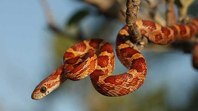 Corn Snake ular peliharaan