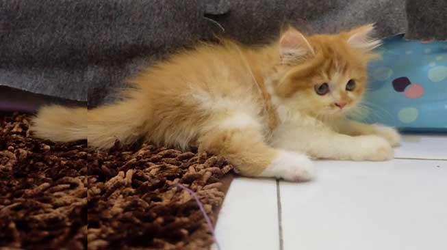 Jenis Kucing Persia
