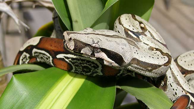 Red-Tail BOA ular peliharaan
