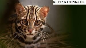 Kucing Congkok atau Leopard Cat (Prionaliurus Bengalensis)