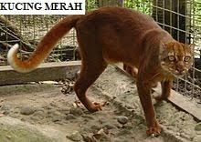 Kucing Merah atau Bornean Bay Cat atau Bornean Red Cat (Pardofelis Badia)