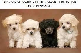Cara Merawat Anjing Pudel