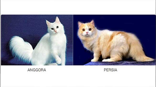 Anggora x Persia