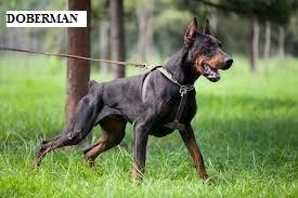 Anjing Doberman
