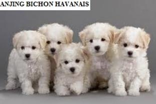 Anjing Bichon Havanais