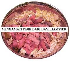 Mengamati Fisik dari Bayi Hamster
