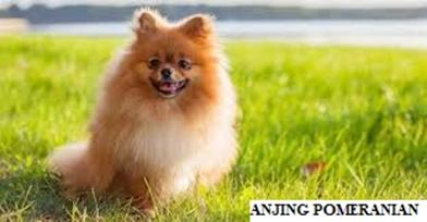 Anjing Pomeranian