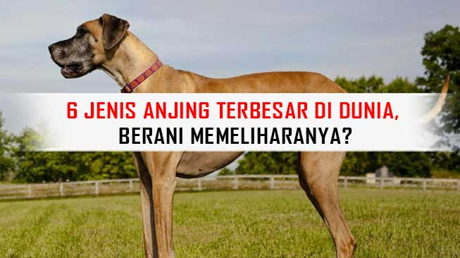 Anjing Terbesar di Dunia